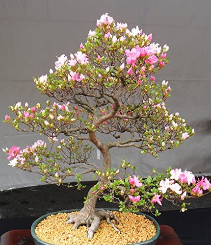 Amazon Com 10 Japanese Flowering Cherry Blossom Bonsai Seeds Exotic Rare Sakura Bonsai Seeds Home Kitchen