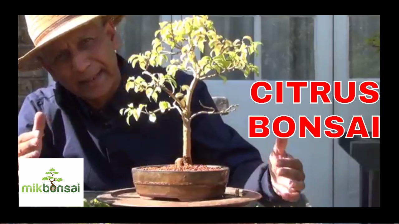 Specific Bonsai Care Guidelines For The Pomegranate Youtube