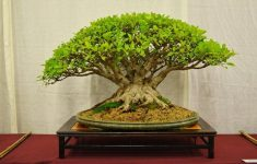 Easiest Tree To Bonsai  Images