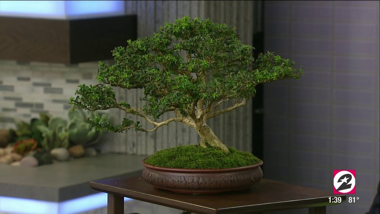 Bonsai Progression Tam Juniper 1 Year In Training Youtube