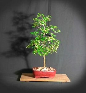 Bonsai Tree Blue Alps Needle Juniper Banj 1028a Ebay
