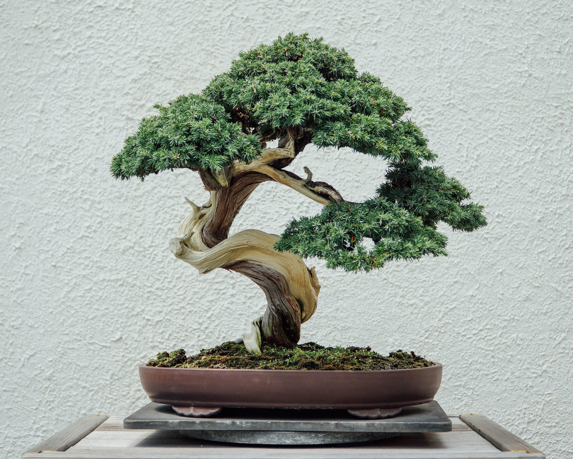 Everything You Need To Know About Bonsai Tree Care Martha Stewart