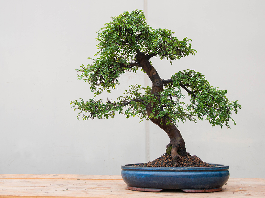 What Is The Best Beginner Bonsai Tree