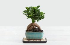 Indoor Bonsai Trees For Sale  Pictures
