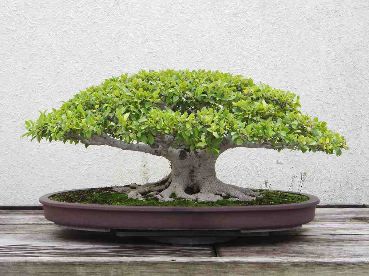 How To Plant Bonsai Plant In Pot  Background
