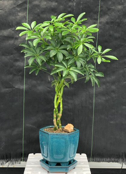 10 Best Bonsai Trees For Beginners Relaxation Awaits Seeds And Spades