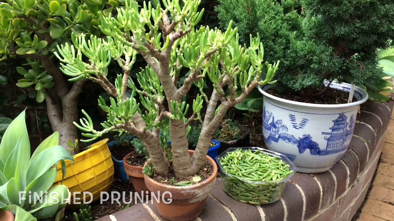 Juniper Bonsai Styling Wiring And Shaping A San Jose Juniper Youtube