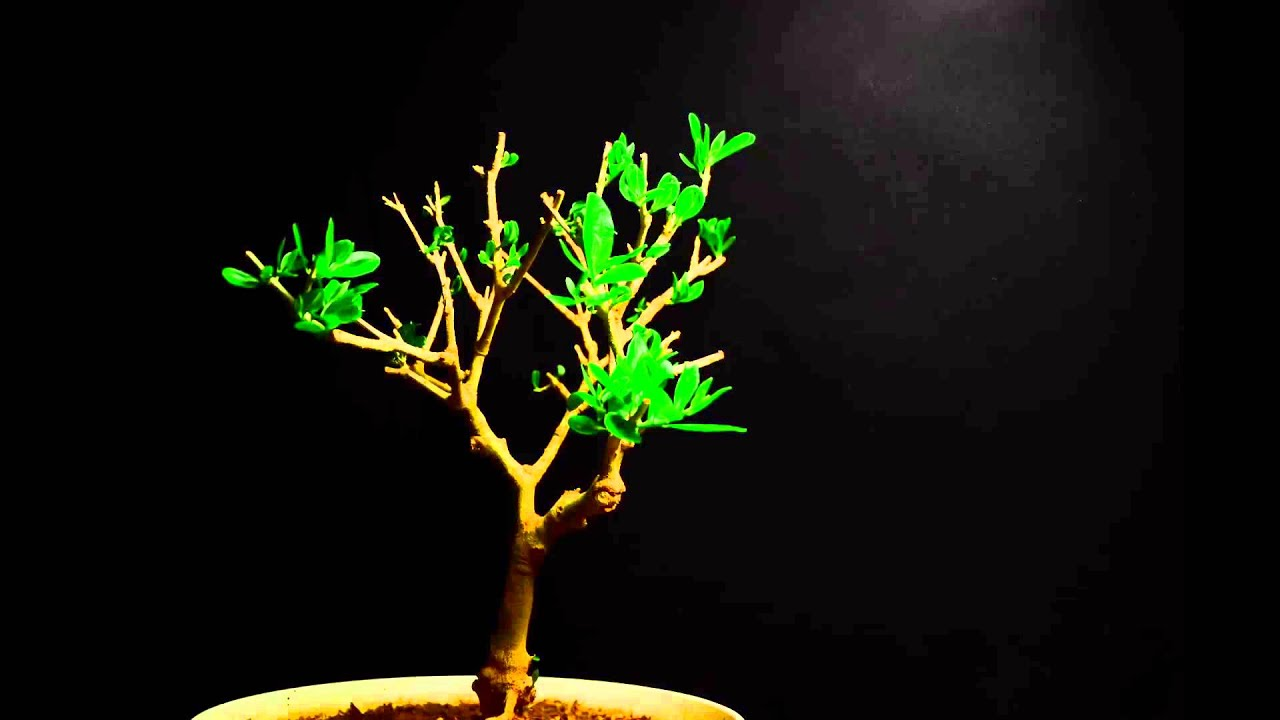 How To Care For Ficus Bonsai Youtube