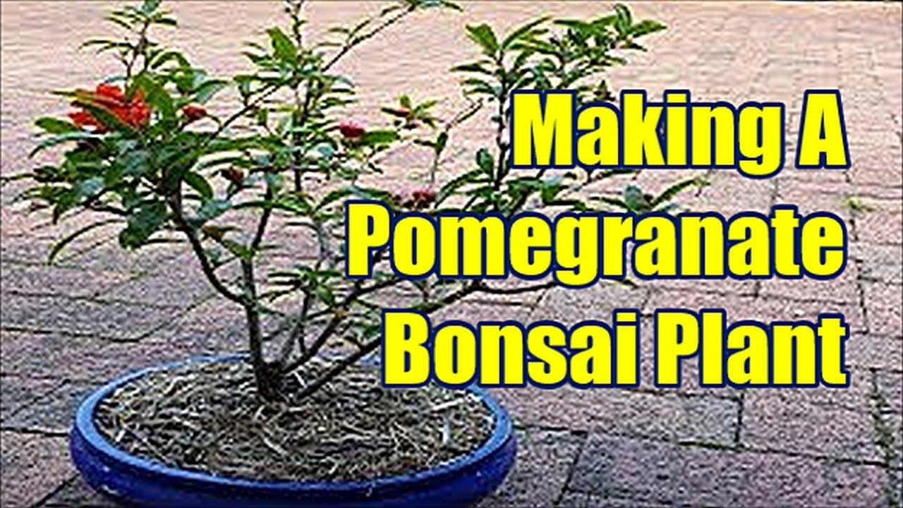 Lemon Tree Bonsai Bonsai Courses