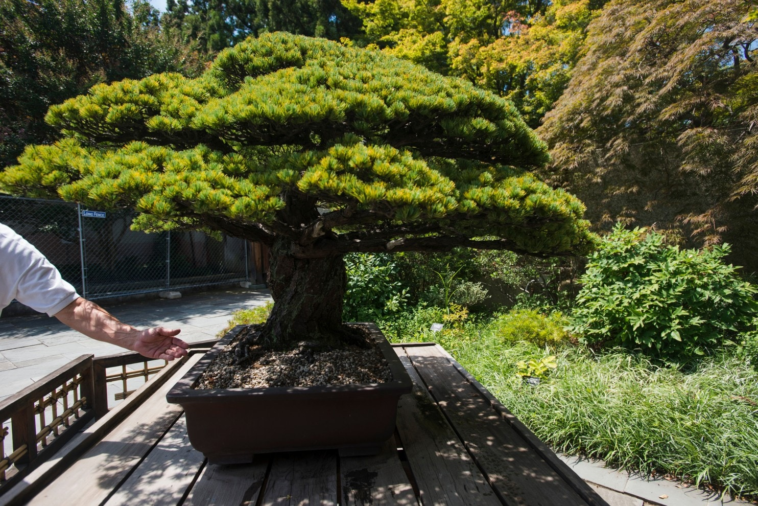 This 390 Year Old Bonsai Tree Survived An Atomic Bomb And No One Knew Until 2001 The Washington Post